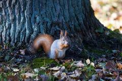 De eekhoorn knaagt aan noot, de herfstgebladerte Royalty-vrije Stock Foto's