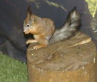 De eekhoorn knaagt aan noten Stock Afbeelding