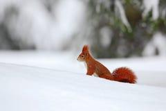 De eekhoorn, leuk rood dier in de winterscène met sneeuw vertroebelde bos op de achtergrond, Frankrijk stock afbeelding