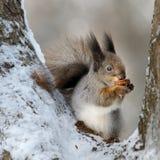 De eekhoorn met een noot. Stock Afbeeldingen