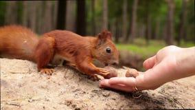 De eekhoorn neemt een okkernoot van vrouwenhand stock video