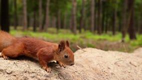 De eekhoorn neemt okkernoot van mens indient het bos stock footage