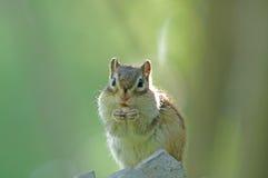 De eekhoorn at noten Royalty-vrije Stock Afbeeldingen