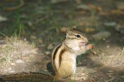 De eekhoorn at noten Stock Foto