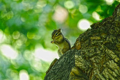 De eekhoorn at noten Royalty-vrije Stock Foto's