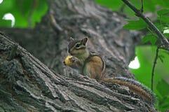 De eekhoorn at noten Stock Foto's