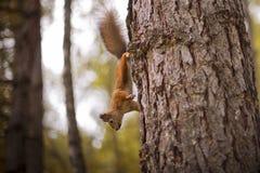 De eekhoorn op de boom bevroor in motie stock fotografie