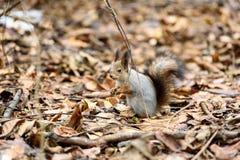 De eekhoorn op de boom eet noot Royalty-vrije Stock Afbeelding