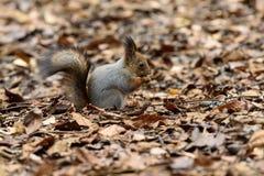 De eekhoorn op de boom eet noot Royalty-vrije Stock Foto