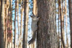 De eekhoorn op de boom Royalty-vrije Stock Foto's