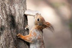 De eekhoorn op de boom eet de paddestoel Stock Foto's