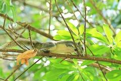 De eekhoorn op een boom stock afbeelding