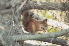 De eekhoorn op een boom eet een noot stock fotografie