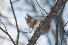 De eekhoorn op een tak Royalty-vrije Stock Fotografie