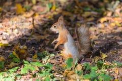 De eekhoorn op grond van het de herfstpark of het bos in de warme zonnige dag onder het gras en de gele gevallen bladeren stock afbeelding