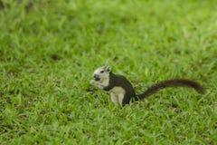 De eekhoorn is op het gazon in het park stock fotografie