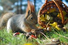 De eekhoorn plukt de okkernoot Stock Foto's