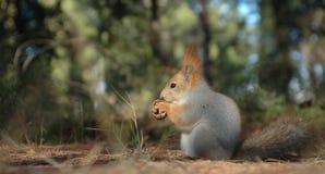 De eekhoorn plukt de okkernoot Stock Fotografie