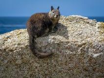 De eekhoorn van de Beecheygrond Stock Afbeeldingen