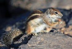 De eekhoorn van de grond Royalty-vrije Stock Fotografie