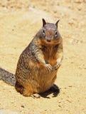 De eekhoorn van de grond Stock Fotografie