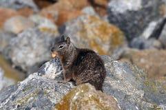 De eekhoorn van de grond Stock Foto's
