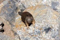 De eekhoorn van de grond Royalty-vrije Stock Foto's