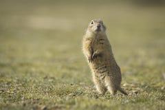 De eekhoorn van de grond Stock Afbeeldingen