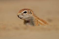 De eekhoorn van de grond Stock Foto