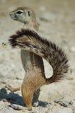 De eekhoorn van de grond in Etosha Stock Foto
