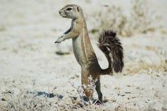De eekhoorn van de grond in Etosha Stock Afbeelding
