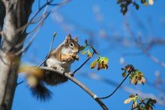 De eekhoorn van de grond het eten stock fotografie