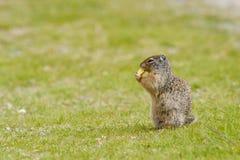 De eekhoorn van de grond op gras Royalty-vrije Stock Afbeeldingen