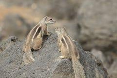 De Eekhoorn van de Grond van Barbarije (getulus Atlantoxerus) stock afbeelding