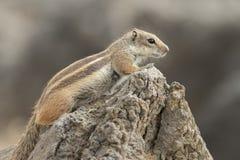 De Eekhoorn van de Grond van Barbarije (getulus Atlantoxerus) royalty-vrije stock foto