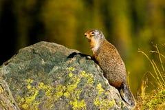 De Eekhoorn van de Grond van Colombia Royalty-vrije Stock Afbeelding