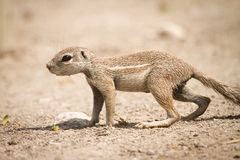 De Eekhoorn van de Grond van de kaap Stock Foto's