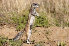 De Eekhoorn van de Grond van de kaap Royalty-vrije Stock Foto's