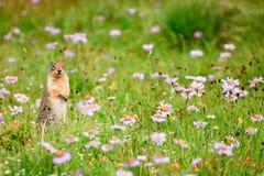 De Eekhoorn van de grond in Wildflowers Royalty-vrije Stock Afbeeldingen