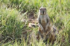 De eekhoorn van de grond (Xerus) stock foto's
