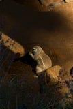 De Eekhoorn van de kaapgrond Royalty-vrije Stock Afbeeldingen