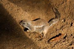 De Eekhoorn van de kaapgrond Royalty-vrije Stock Foto