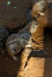 De Eekhoorn van de kaapgrond Stock Afbeeldingen