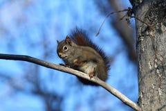 De Eekhoorn van de pijnboom Stock Foto