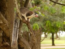 De eekhoorn van de rots Stock Foto