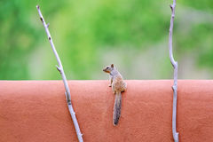 De eekhoorn van de rots op een adobemuur Stock Afbeelding