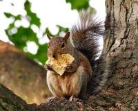 De eekhoorn van de vos royalty-vrije stock foto