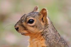 De Eekhoorn van de vos Stock Foto