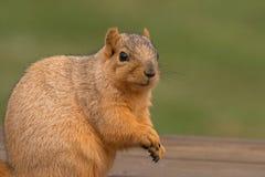 De Eekhoorn van de vos Stock Fotografie