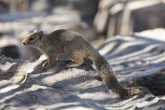 De eekhoorn van de woestijn Royalty-vrije Stock Afbeelding